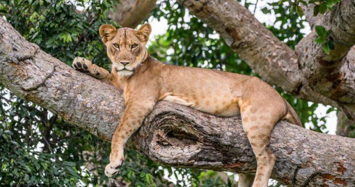 queen-elizabeth-tree-climbing-lion